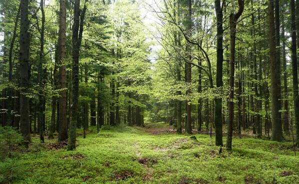 Průsek v bukovém lese na jižním spočinku