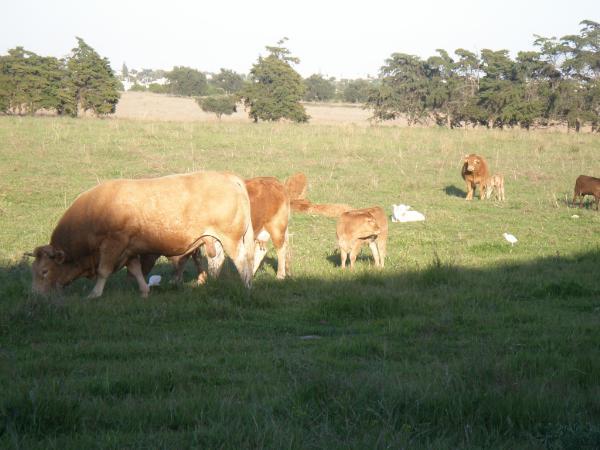 Vacas em forma