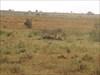 Löwin Safari 2006