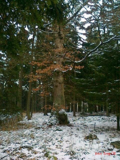 dub v zimě