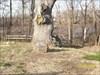 The clement oak-2