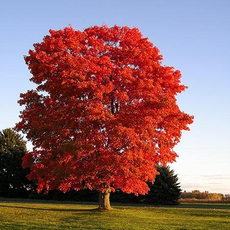 Gc6qq02 red maple traditional cache in new york united states red tree sciox Choice Image
