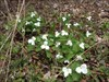 Trilliums are the true signs of Spring