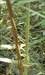 Palm Thorn