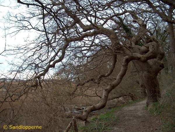 Digteren Ludvig Holbergs yndlingstræ