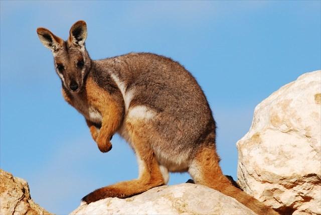 Gelbfuß-Felskänguru