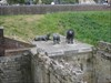 Lions in the moat