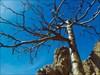 endemische Zwirbelzierler-Kiefer
