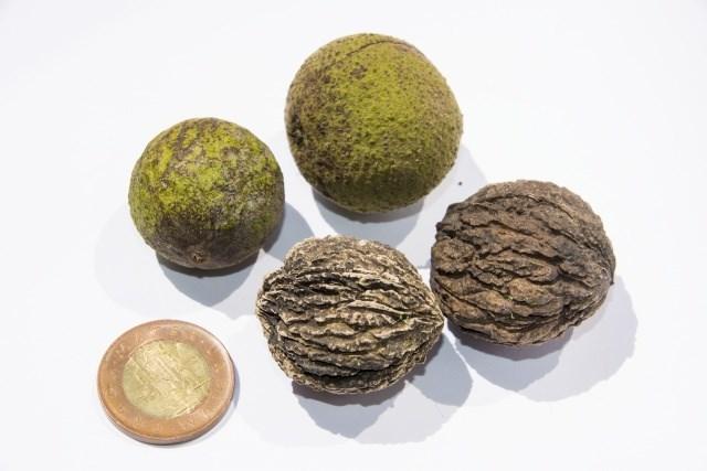 Plody Ořešáku černého