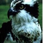 osprey46