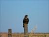 águia de asa redonda 2