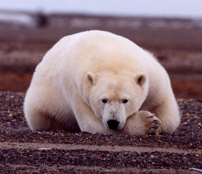 Überglücklicher Polarbär