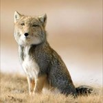 Buddhist Fox