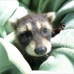 Ramblin Raccoons