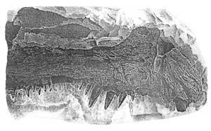 Horni celist velke drave ryby Xiphanticus sp. z Bile Hory