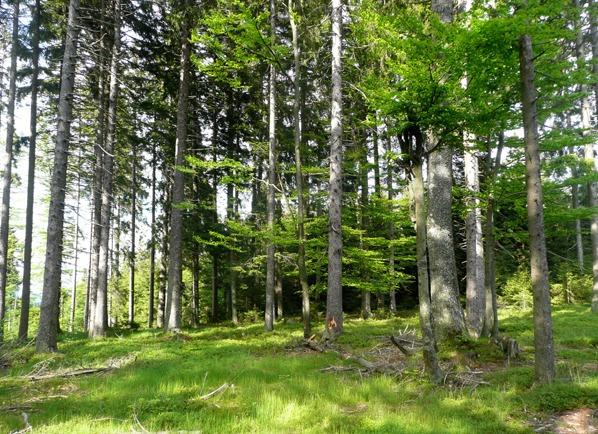 Les na vrcholu Javorné
