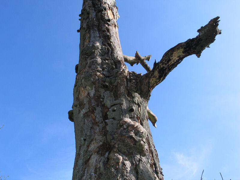 Dødt træ 01