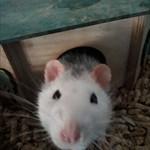 szczurekSY