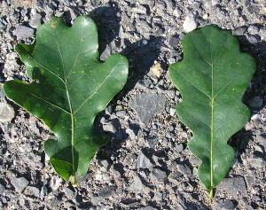 porovnani listu dubu letniho a zimniho