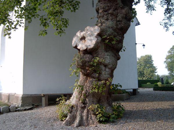 Billede af træet ved kirkegavlen