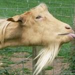 J the Goat