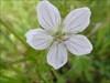 White geranium near BCP