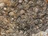 Mais conchas