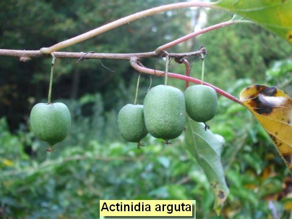 Actinidia arguta