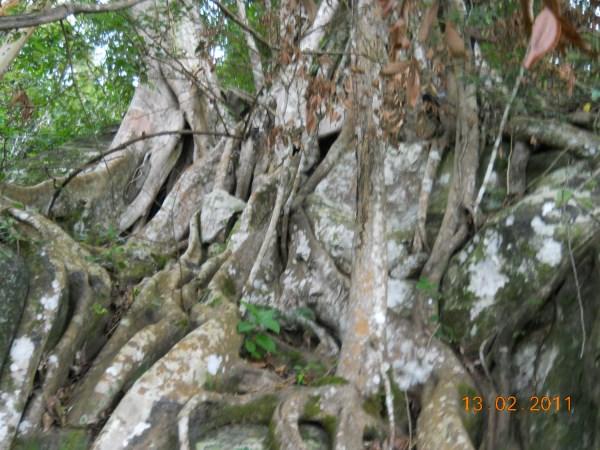 GC2PJ3W Avatar Banyan Tree -Down under Eagle Rock Haputale ...
