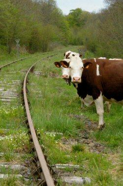 alibi des vaches