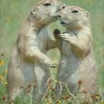 Prairie Hound