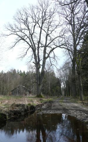 Dub na jaře