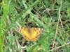 "Click to view ""Orange moth..."