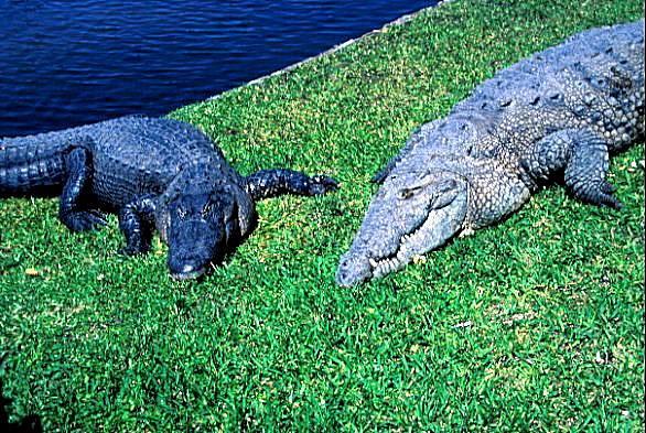 American Alligator Gator Crocamerican Alligator Left American Crocodile Right