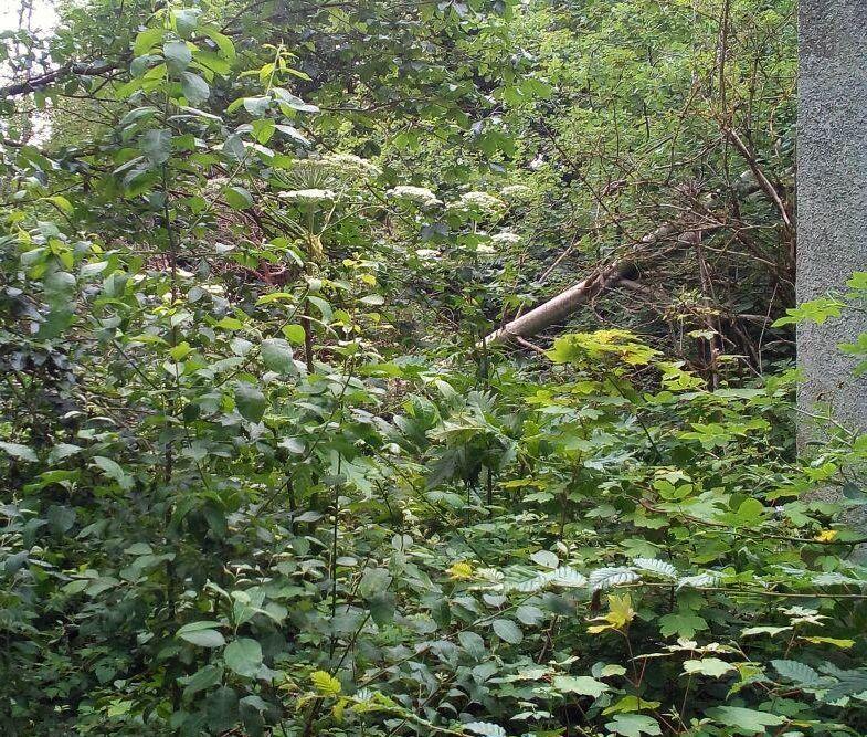 Giftpflanze Riesenbärenklau nicht berühren