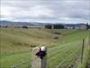 Flederschaf at Historical Taieri Plains Lakes