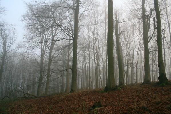 Buky v mlze
