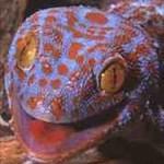 geckoses