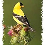 Goldfinch593