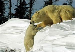 Mama und Weißpuschel die Eisbären Bild 001