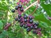 Some beautiful looking berries