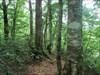 Beechen virgin forest