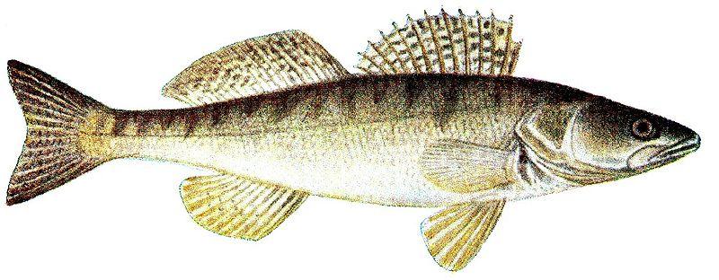 На предприятии в Лохусуу обнаружена рыба без документов.