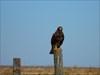 águia de asa redonda 3