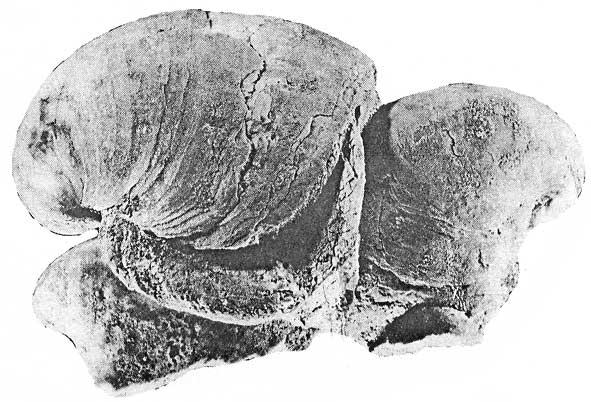 Ustrice Rhynchostreon suborbiculatum (LAMARCK)