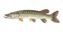 ryba5
