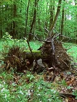 Waldeckblick-Geocache-Wurzel