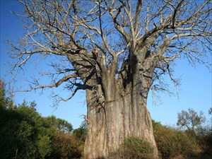 Der Boabbaum / The Boab Tree