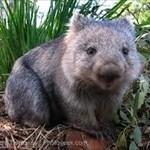 wombat hubris