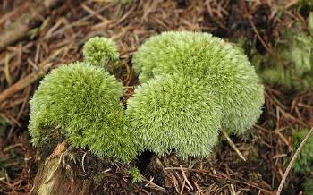 Belomech sivy (Leucobryum glaucum)